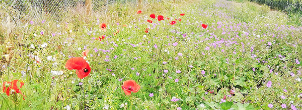 Poppies and mixed wild flowers on the verge of a field of wheat