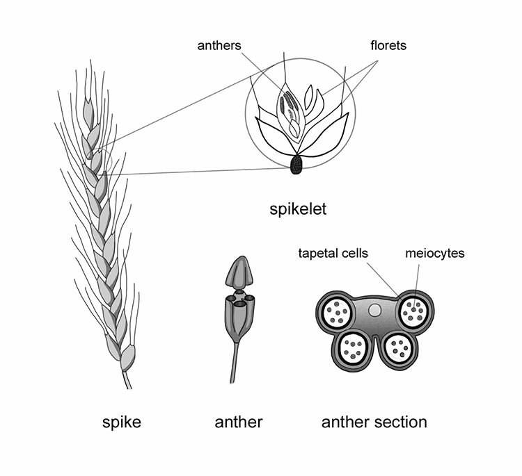 Structure of a wheat plant and anther © Flozbox/science.illustrated