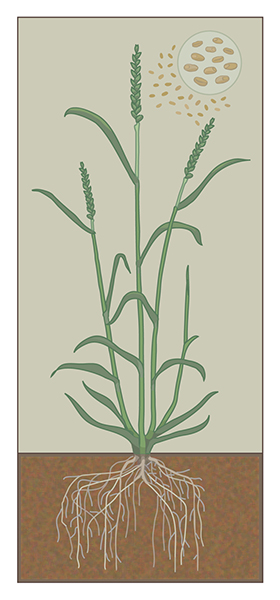Preliminary study of a wheat plant © Flozbox/science.illustrated