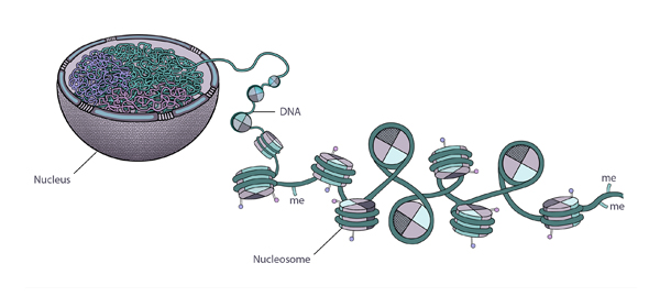 Plant cell cross section, the nucleus is bowl shaped, DNA strands inside spaghetti-like, a magnified section indicates the nucleosome