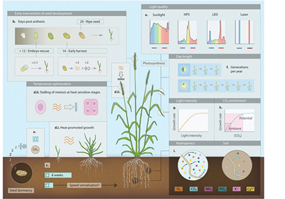 wheat plant growth illustrated at four stages, seedling to maturity, the development timeline of a seed, with graphs and supporting data
