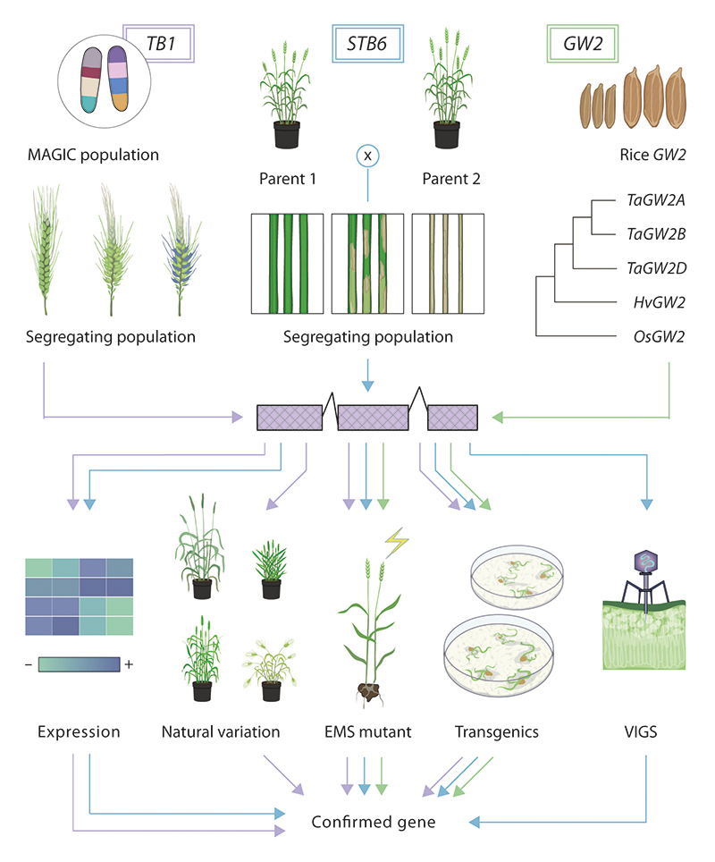 Figure: Gene discovery in wheat © Flozbox/science.illustrated