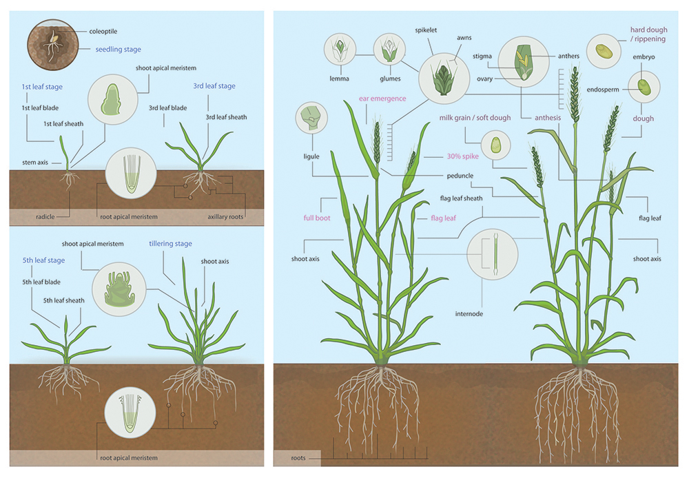 Stages of growth in wheat plant, seedling, tillering, heading and maturity