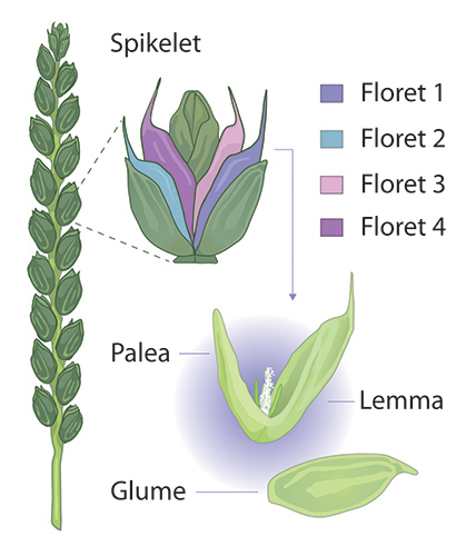 Spikelet architecture © Flozbox/science.illustrated