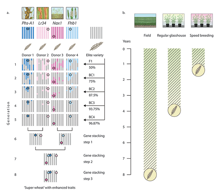 Figure 2.Rapid trait stacking through speed breeding and marker assisted selection © Flozbox/science.illustrated